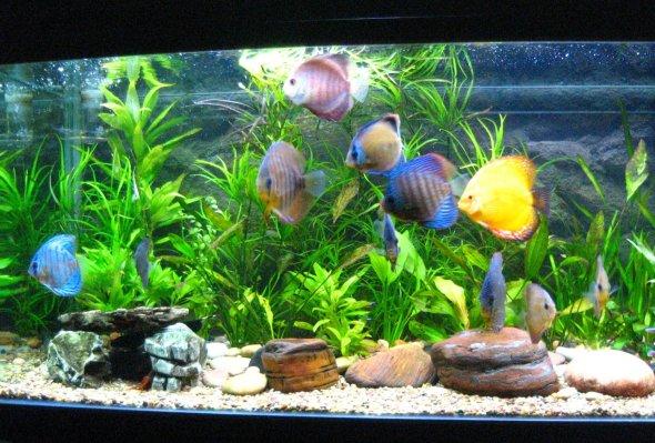 discus-aquarium