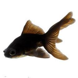 goldfish3