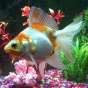 goldfish4