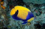 Majestic Angel - Dallas Aquarium Experts Certified Fish